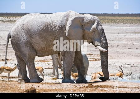 An african elephant (Loxodonta africana) and springboks (Antidorcas marsupialis) at a waterhole in the Etosha National - Stock Photo