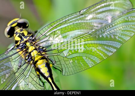 Emerging Common Clubtail, Gomphus vulgatissimus clings to marsh grass after emerging  Damaged wing shown in detail - Stock Photo