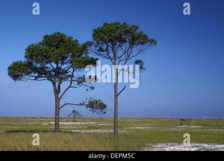 Pines, Bon Secour National Wildlife Refuge, Alabama, USA - Stock Photo
