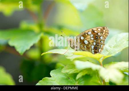 High brown fritillary (Argynnis adippe) – UK - Stock Photo