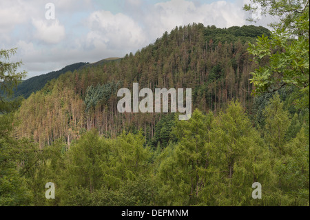 Forestry management on top mountainside of Afon Rheidol valley long term plan to replace conifers with sessile natural - Stock Photo