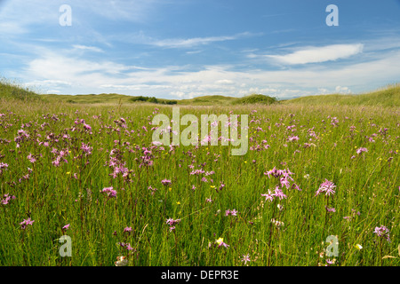 Ragged Robin - Lychnis flos-cuculi in the Dune slacks at Kenfig Nature Reserve, South Wales - Stock Photo