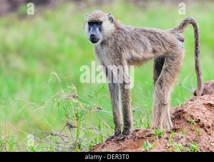 Baboon monkey in African bush. Safari in Tsavo West, Kenya - Stock Photo