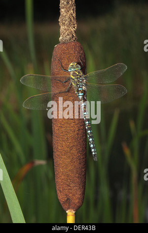 Common Hawker Dragonfly - Stock Photo