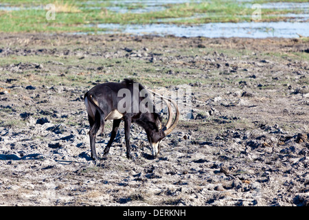 A sable antelope at the edge of a watering hole in Chobe national park, Botswana - Stock Photo