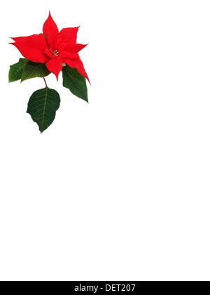 Red Poinsettia flower - Stock Photo