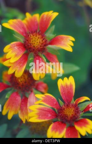 Bright Blanket Flowers. Gaillardia pulchella. October 2007. Maryland, USA. - Stock Photo