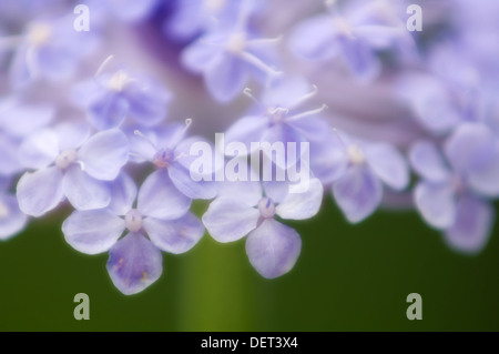 Blue Lace Flower. Didiscus coerulea. July 2005, Maryland, USA - Stock Photo