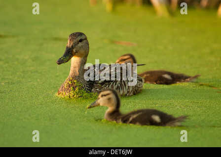 A mother mallard duck (Anas platyrhynchos) with two ducklings swimming in a duckweed covered pond, Big Lake, Alberta - Stock Photo