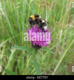 Mite Infested White Tailed Bumble Bee ( Bombus lucorum ) Feeding on Common Knapweed ( Centaurea nigra ) - Stock Photo