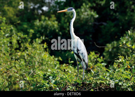 Brazil, Pantanal: Grey heron (Ardea cinerea) sitting on the top of a bush at riverside - Stock Photo
