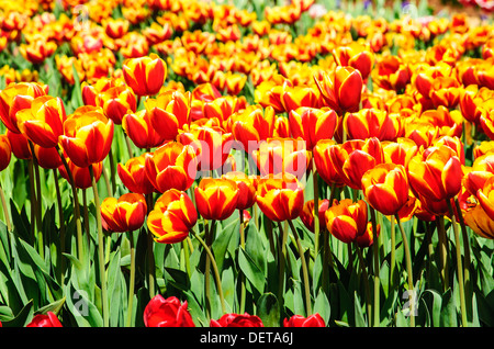 Picture of tulips in the farm on the sunny day - Stock Photo