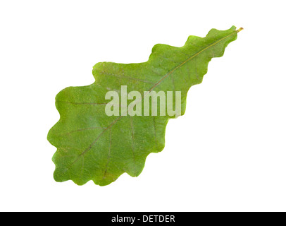 Single green oak leaf over white - Stock Photo