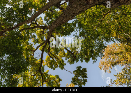 Majestic maple tree (Acer sp.) looking up at tree canopy from below against a blue sky Irvington, Westchester County, - Stock Photo