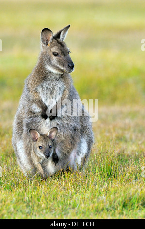 Bennett's Wallaby Macropus rufogriseus Female with joey in pouch Photographed in Tasmania, Australia - Stock Photo