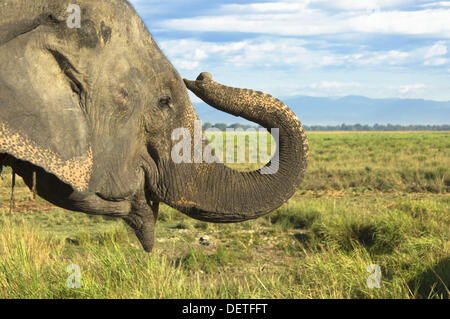 Asian or Asiatic Elephant, Elephas maximus, Kaziranga national park, Assam, India - Stock Photo