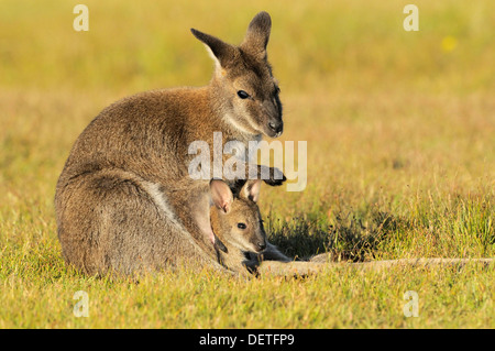 Bennett's Wallaby Macropus rufogriseus Mother with joey in pouch Photographed in Tasmania, Australia - Stock Photo