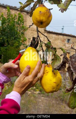 Women hands picking quinces. Cydonia oblonga. Photo take in Pinos, Lleida, Catalonia, Spain, Europe - Stock Photo