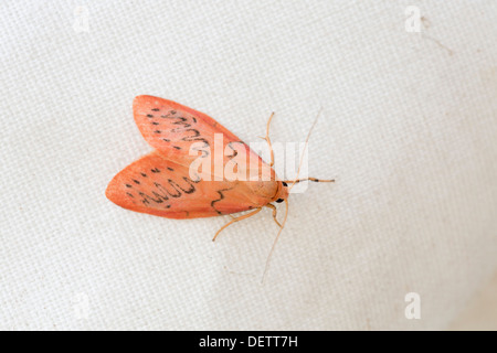 Rosy Footman Moth; Miltochrista miniata; UK - Stock Photo