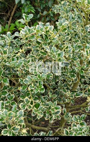 Common holly (Ilex aquifolium 'Argentea Marginata') - Stock Photo