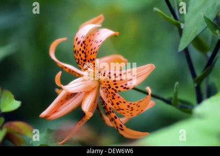 Double Flowering Tiger Lily. Lilium lancifolium Thunberg ´Flore Pleno´. - Stock Photo
