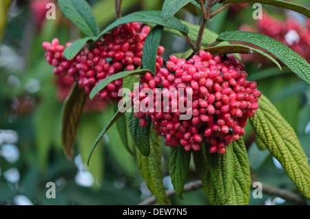Leatherleaf viburnum (Viburnum rhytidophyllum) - Stock Photo