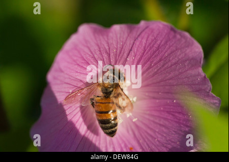Honey Bee in Pink Common Hollyhock - Stock Photo