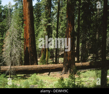 Giant sequoias, Mariposa Grove. Yosemite National Park. California. USA - Stock Photo