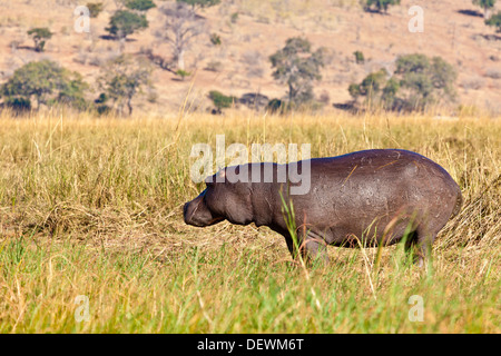A hippopotamus out of the water in Chobe national park, Botswana - Stock Photo