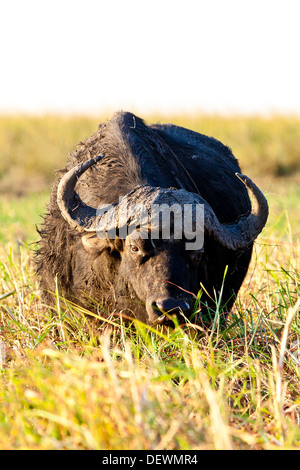 A cape buffalo in Chobe national park, Botswana - Stock Photo