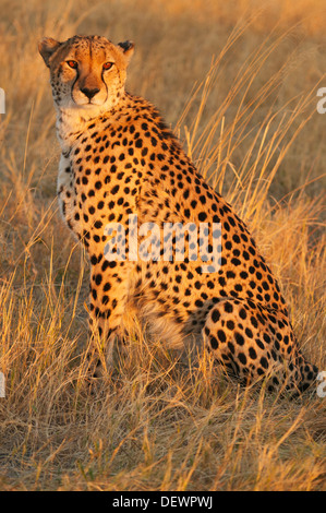 Cheetah (Acinonyx jubatus) male hunting at sunset, Okavango Delta, Botswana - Stock Photo