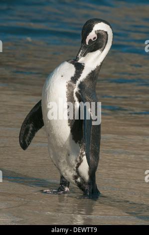 African Penguin (Spheniscus demersus) Wild, Preening after emerging from ocean, Boulders Beach, Cape Peninsula, - Stock Photo