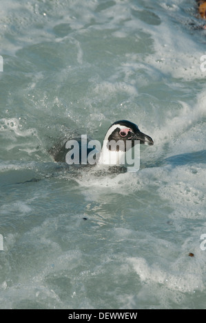African Penguin (Spheniscus demersus) Wild, Swimming, Betty's Bay, Western Cape, South Africa ENDANGERED - Stock Photo