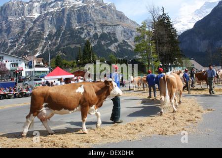 Cows show in Grindelwald, Switzerland - Stock Photo