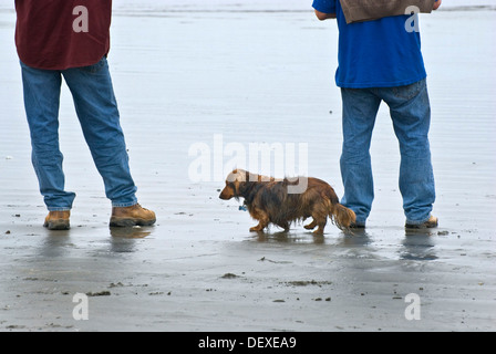 Long haired dachshund with master at beach - Stock Photo