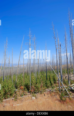 Coniferous forest with dead and regrowing conifers after a forest fire, Yellowstone National Park, Wyoming, USA - Stock Photo