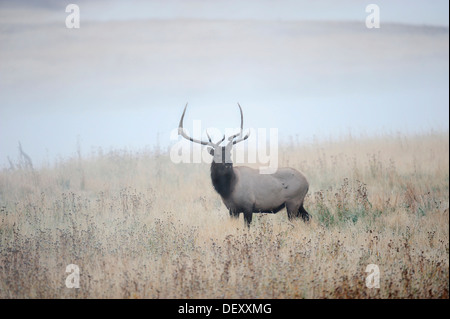 Wapiti or Elk (Cervus canadensis, Cervus elaphus canadensis), male standing in the morning mist, Yellowstone National - Stock Photo