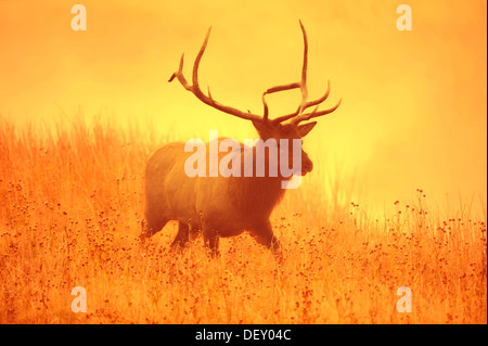 Wapiti or Elk (Cervus canadensis, Cervus elaphus canadensis), male in the morning mist, Yellowstone National Park, - Stock Photo
