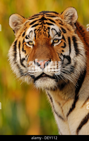 Siberian Tiger or Amur Tiger (Panthera tigris altaica), portrait, native to Asia, in captivity - Stock Photo