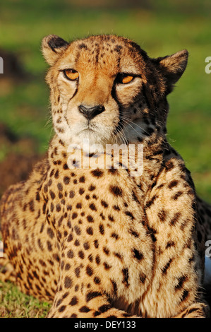 Cheetah (Acinonyx jubatus), native to Africa, in captivity - Stock Photo