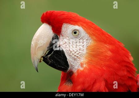 Scarlet Macaw (Ara macao), portrait, native to South America, in captivity, Bergkamen, North Rhine-Westphalia - Stock Photo
