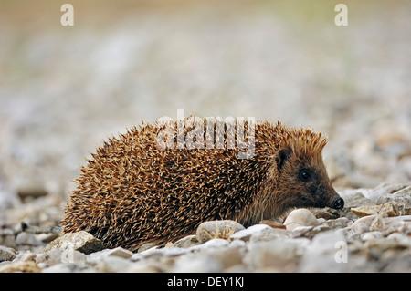 European Hedgehog (Erinaceus europaeus), France, Europe - Stock Photo