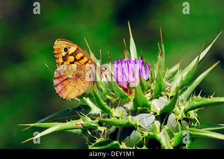 Speckled Wood Butterfly (Pararge aegeria aegeria) on Blessed Milk Thistle, Saint Mary's Thistle, or Scotch Thistle - Stock Photo