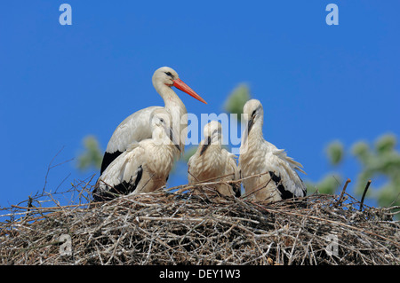 White Stork (Ciconia ciconia) with young birds in the nest, North Rhine-Westphalia