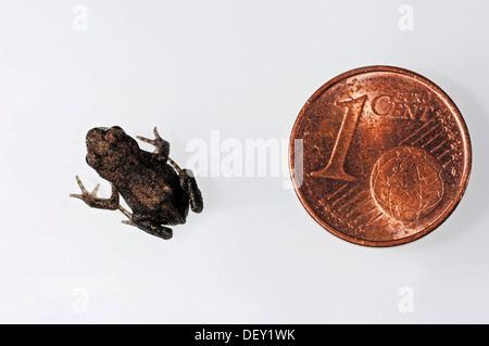 Common Toad or European Toad (Bufo bufo), juvenile beside a 1-cent coin for size comparison, North Rhine-Westphalia - Stock Photo