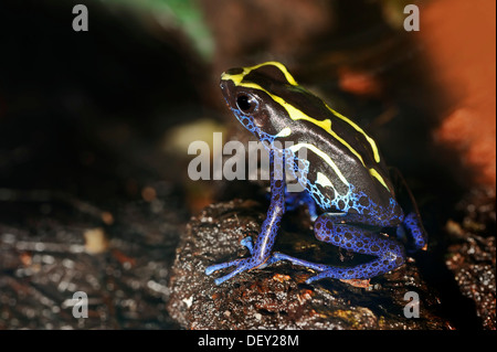Dyeing Dart Frog (Dendrobates tinctorius), a poison dart frog, native to Brazil, French Guiana and Suriname, in - Stock Photo