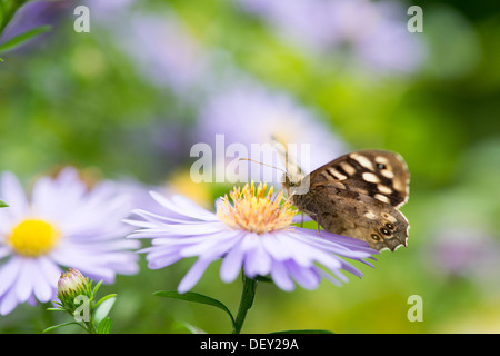 Speckled Wood butterfly (Pararge aegeria) - UK - Stock Photo