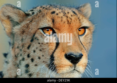 Cheetah (Acinonyx jubatus), portrait, native to Africa, in captivity - Stock Photo