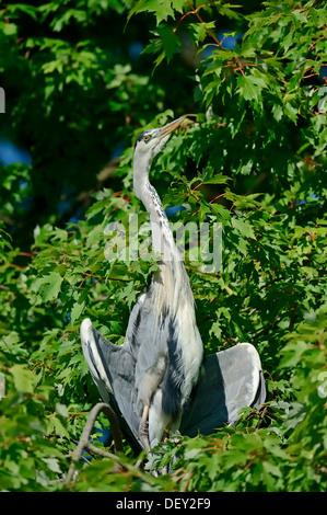 Grey Heron (Ardea cinerea) taking a sunbath, North Rhine-Westphalia - Stock Photo
