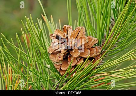 European Black Pine (Pinus nigra), pine cone on the tree, Provence, Southern France, France, Europe - Stock Photo
